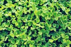Grüner Hintergrund mit drei-leaved Shamrocks Stockfotos