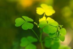 Grüner Hintergrund mit drei-leaved Shamrocks Flache Schärfentiefe, Fokus auf nahem Blatt Lizenzfreies Stockbild