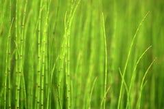 Grüner Hintergrund von Horsetails Lizenzfreie Stockfotos