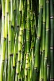 Grüner Horsetail hält für schöne stützbare Natur oder botanische Tapete auf Lizenzfreie Stockfotografie