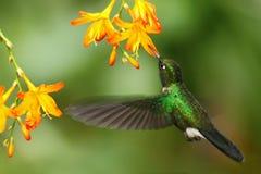 Grüner humingbird Tourmaline Sunangel, Heliangelus-exortis, fliegend nahe bei schöner gelb-orangeer Blume, Costa Rica Lizenzfreie Stockfotografie