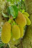 Grüner Jackfruit Lizenzfreies Stockfoto
