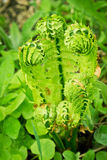 Grüner junger Farn Stockfotos