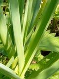 Grüner junger Knoblauch sonnenbeschien im Garten stockbilder