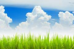 Grüner junger Reispaddy gegen den blauen Himmel Stockfotografie