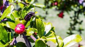 Grüner Juni-Käfer auf Blatt eines Baums lizenzfreie stockbilder