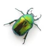 Grüner Käfer Stockfotos