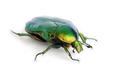 Grüner Käfer Stockfoto