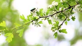 Grüner Käfer auf einem Brunch stock footage