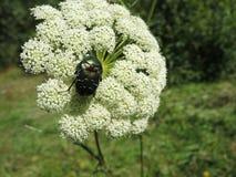 Grüner Käfer auf Nahaufnahme der weißen Blume Stockbild