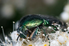 Grüner Käferkäfer auf einer weißen Blume Cetonia aurata extremer Makronahaufnahmeschuß Stockfoto