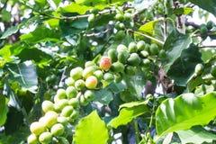 Grüner Kaffee Lizenzfreies Stockfoto