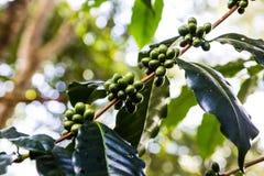 Grüner Kaffee auf dem Baum Stockbild