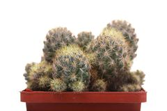 Grüner Kaktus in einem braunen Topf auf rosa Hintergrund Minimales Artdesign Dornen, grob Stockfotos