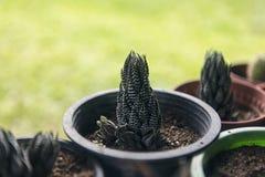 Grüner Kaktus im Blumentopf lizenzfreie stockfotos
