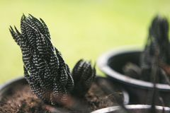 Grüner Kaktus im Blumentopf an lizenzfreie stockbilder