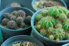 Grüner Kaktus im Topf Stockfotos
