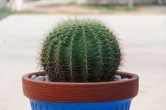 Grüner Kaktus im Topf Stockbild
