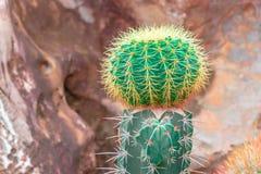 Grüner Kaktus mit Draufsicht des Dornes über Steingarten stockfotografie