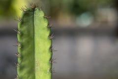 Grüner Kaktus verzweigen sich heraus in Blumentopf lizenzfreie stockfotos