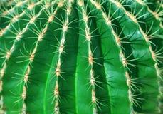 Grüner Kaktusabschluß kann als Hintergrund aufgebraucht werden Lizenzfreie Stockfotografie