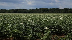 Grüner Kartoffelacker stock video