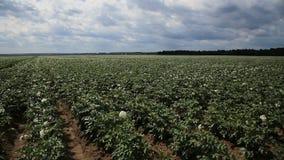Grüner Kartoffelacker stock video footage