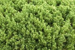 Grüner Kieferhintergrund Stockbild