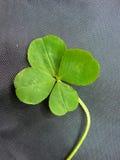 Grüner Klee mit vier Blättern Stockfoto
