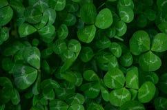 Grüner Kleehintergrund Stockfotografie