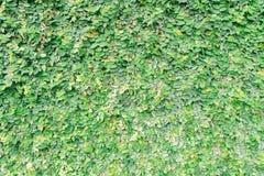 Grüner Kleehintergrund mit Mikrowassertropfen Stockbilder