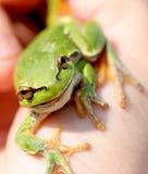 Grüner kleiner Frosch Stockfotos