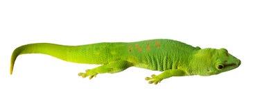 Grüner kleiner Gecko lokalisiert auf Weiß lizenzfreies stockfoto