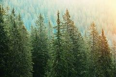 Grüner Koniferenwald beleuchtet durch Sonnenlicht stockbilder