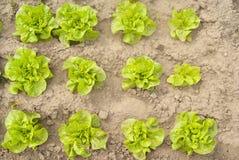 Grüner Kopfsalat ökologisch angebaut im Garten Lizenzfreies Stockfoto