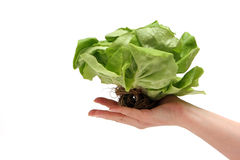 Grüner Kopfsalat Lizenzfreie Stockbilder