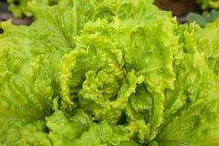 Grüner Kopfsalat Stockbilder