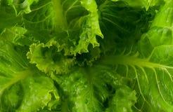 Grüner Kopfsalat Stockfotografie