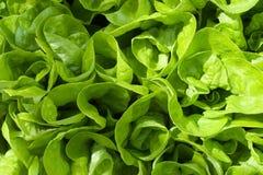 Grüner Kopfsalat Lizenzfreie Stockfotografie