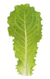 Grüner Kopfsalat Lizenzfreies Stockfoto