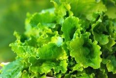 Grüner Kopfsalat. Stockfotografie