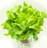 Grüner Kopfsalat auf einem weißen Hintergrund Lizenzfreie Stockfotos