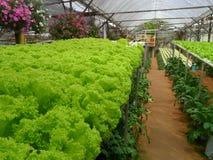Grüner Kopfsalat bei Cameron Highland Malaysia Lizenzfreies Stockbild