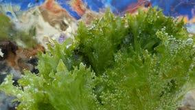 Grüner Kopfsalat eingefroren im Eiswürfel stock video