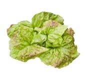 Grüner Kopfsalat Lactuca Sativa Stockfotos