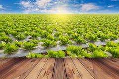 Grüner Kopfsalat und Bretterboden auf der Feldlandwirtschaft mit blauem Himmel Stockbild