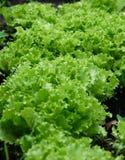 Grüner Kopfsalat wächst im Garten Lizenzfreies Stockbild