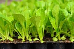 Grüner Kopfsalatsämling. Nahrung und Gemüse Lizenzfreies Stockbild