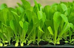 Grüner Kopfsalatsämling. Nahrung und Gemüse Stockbild