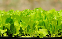 Grüner Kopfsalatsämling. Nahrung und Gemüse Stockfotografie